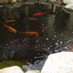 fish koi in pond at hillcrest office